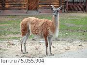 Купить «Дикая лама (Lama guanicoe Guanaco) в открытом вольере зоопарка», фото № 5055904, снято 3 мая 2013 г. (c) Игорь Долгов / Фотобанк Лори
