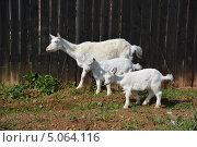 Коза с двумя козлятами стоит у забора. Стоковое фото, фотограф Евгений Волвенко / Фотобанк Лори
