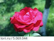 Алая роза. Стоковое фото, фотограф Александра Полупанова / Фотобанк Лори
