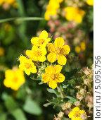 Купить «Цветы лапчатки кустарниковой желтой мелкоцветковой (Potentilla fruticosa)», эксклюзивное фото № 5095756, снято 17 августа 2013 г. (c) Алёшина Оксана / Фотобанк Лори