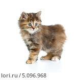 Милый черепаховый котенок породы курильский бобтейл. Стоковое фото, фотограф Андрей Кузьмин / Фотобанк Лори