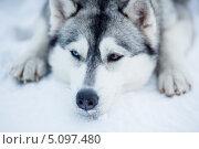 Купить «Уставшая сибирская хаски», фото № 5097480, снято 7 января 2013 г. (c) Андрей Кузьмин / Фотобанк Лори