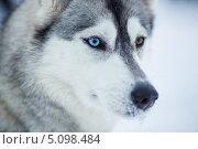 Купить «Собака породы сибирская хаски», фото № 5098484, снято 7 января 2013 г. (c) Андрей Кузьмин / Фотобанк Лори
