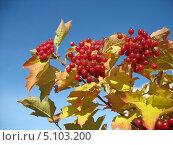 Купить «Алая гроздь калины на фоне голубого неба осенью», фото № 5103200, снято 29 сентября 2013 г. (c) Светлана Ильева (Иванова) / Фотобанк Лори