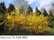 Купить «Кусты цветущей форзиции», эксклюзивное фото № 5104480, снято 25 апреля 2013 г. (c) Алексей Гусев / Фотобанк Лори