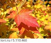 Купить «Краски осени. Красный лист калины на фоне желтых», фото № 5110460, снято 29 сентября 2013 г. (c) Светлана Ильева (Иванова) / Фотобанк Лори