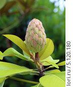 Купить «Плод магнолии крупноцветковой (лат. Magnolia grandiflora)», фото № 5120180, снято 9 августа 2013 г. (c) Григорий Писоцкий / Фотобанк Лори
