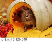 Купить «Дегу в осеннем натюрморте», фото № 5126348, снято 2 октября 2013 г. (c) Чернова Анна / Фотобанк Лори