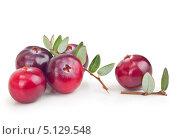 Купить «Лесные ягоды клюквы с листьями», фото № 5129548, снято 8 сентября 2013 г. (c) Валентина Разумова / Фотобанк Лори