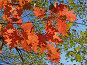 Яркие осенние листья дуба кленолистного на фоне голубого неба, фото № 5133872, снято 28 октября 2006 г. (c) Ирина Борсученко / Фотобанк Лори