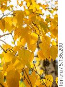 Купить «Ветка берёзы с желтыми листьями», фото № 5136200, снято 1 октября 2013 г. (c) Игорь Ткачёв / Фотобанк Лори
