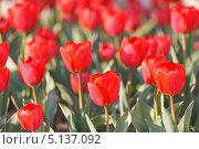 Купить «Много красных садовых тюльпанов Геснера, Tulipa gesneriana (малая глубина резкости)», фото № 5137092, снято 12 апреля 2013 г. (c) Ольга Липунова / Фотобанк Лори