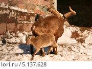 Купить «Самец дагестанского тура с козленком (Capra cylindricornis)», эксклюзивное фото № 5137628, снято 24 февраля 2013 г. (c) Щеголева Ольга / Фотобанк Лори