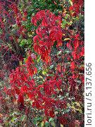 Красные виноградные листья. Стоковое фото, фотограф Валентина Белоусова / Фотобанк Лори