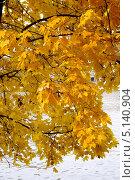 Ветки клена с ярко-желтыми листьями над водой. Стоковое фото, фотограф Илюхина Наталья / Фотобанк Лори