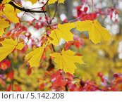 Купить «Желтые кленовые листья», фото № 5142208, снято 10 октября 2013 г. (c) Людмила Жмурина / Фотобанк Лори