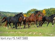 Купить «Табун лошадей, бегущих по зеленому полю», фото № 5147580, снято 6 октября 2013 г. (c) Эдуард Кислинский / Фотобанк Лори