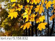 Купить «Желтые листья клена, освещенные солнцем», фото № 5158832, снято 12 октября 2013 г. (c) Юлия Бабкина / Фотобанк Лори
