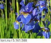 Купить «Цветы голубого ириса на лугу», фото № 5161588, снято 9 июня 2013 г. (c) Алексей Кокоулин / Фотобанк Лори