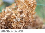 Гортензия сухоцвет. Стоковое фото, фотограф Дарья Лондарева / Фотобанк Лори