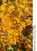 Купить «Осень. Желтые листья», эксклюзивное фото № 5171336, снято 12 октября 2013 г. (c) Зобков Георгий / Фотобанк Лори