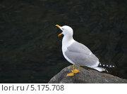 Птица чайка с широко открытым клювом на камне. Стоковое фото, фотограф Илья Сладков / Фотобанк Лори