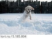 Собака, бегущая по снегу. Стоковое фото, фотограф Андрей / Фотобанк Лори