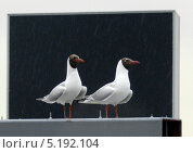 Две чайки на фоне экрана. Стоковое фото, фотограф Elena Baranovskaya / Фотобанк Лори