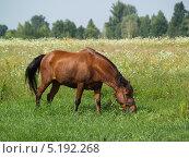 Коричневая лошадь пасется на лугу. Стоковое фото, фотограф Артур Буйбаров / Фотобанк Лори