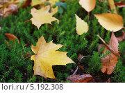 Жёлтые листья на траве. Стоковое фото, фотограф Мария Северина / Фотобанк Лори