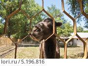 Купить «Счастливый верблюд в тени», эксклюзивное фото № 5196816, снято 27 июля 2012 г. (c) Алёшина Оксана / Фотобанк Лори