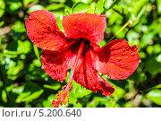 Цветок и капли воды. Стоковое фото, фотограф сергей юренков / Фотобанк Лори