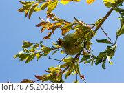 Гранат на дереве. Стоковое фото, фотограф сергей юренков / Фотобанк Лори