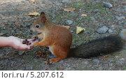 Купить «Белку кормят орехами», видеоролик № 5207612, снято 3 октября 2013 г. (c) Михаил Коханчиков / Фотобанк Лори