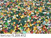 Купить «Разноцветные кленовые листья на зеленой траве», фото № 5209412, снято 12 октября 2009 г. (c) Юлия Маливанчук / Фотобанк Лори