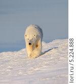 Купить «Белый медведь», фото № 5224888, снято 25 октября 2013 г. (c) Максим Деминов / Фотобанк Лори