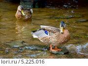 Утка на камне в воде. Стоковое фото, фотограф Opra / Фотобанк Лори