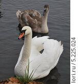 Семья лебедей. Стоковое фото, фотограф Елена Носик / Фотобанк Лори