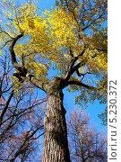 Крона и ствол дерева с желтыми листьями на фоне голубого неба осенью (2013 год). Стоковое фото, фотограф Яна Королёва / Фотобанк Лори