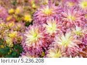 Хризантемы в парке. Стоковое фото, фотограф Наталия Тихонова / Фотобанк Лори