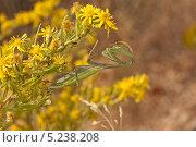 Купить «Богомол (Mantis religiosa)», фото № 5238208, снято 3 ноября 2013 г. (c) Татьяна Ляпи / Фотобанк Лори
