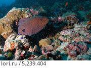 Купить «Гигантская мурена (Gymnothorax javanicus) в норе среди кораллов», фото № 5239404, снято 3 февраля 2013 г. (c) Сергей Дубров / Фотобанк Лори
