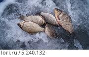 Карась на талом снегу, на зимней рыбалке. Стоковое фото, фотограф Денис Сураев / Фотобанк Лори