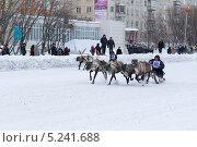Праздник Севера. Гонки на оленьих упряжках (2013 год). Редакционное фото, фотограф Оксана Кабрина / Фотобанк Лори