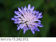 Короставник полевой - Knautia arvensis. Стоковое фото, фотограф Алёшина Оксана / Фотобанк Лори