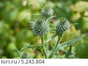 Купить «Бутоны чертополоха (Carduus)», эксклюзивное фото № 5243804, снято 9 июля 2010 г. (c) Алёшина Оксана / Фотобанк Лори