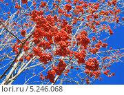 Гроздья красной рябины. Стоковое фото, фотограф Agnes Chvankova / Фотобанк Лори