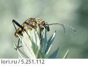 Жук-усач (Cerambycidae) Стоковое фото, фотограф Алёшина Оксана / Фотобанк Лори