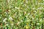 Цветущая гречиха, фото № 5253296, снято 20 июля 2013 г. (c) Сергей Гнилосыр / Фотобанк Лори