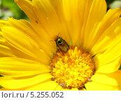 Майский жук в цветке. Стоковое фото, фотограф Константин Левада / Фотобанк Лори